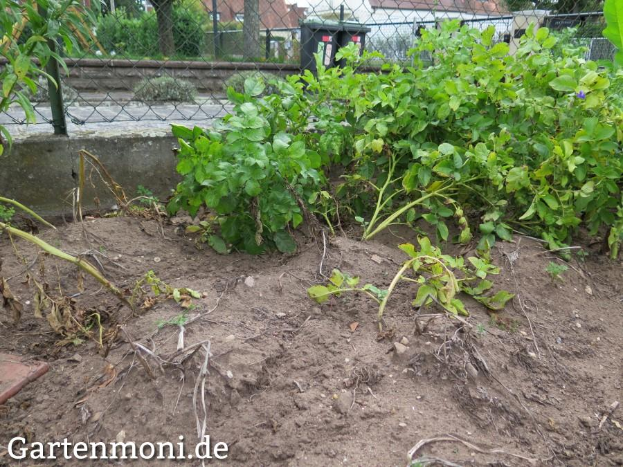 Kartoffeln im garten pflanzen und ernten gartenmoni for Wann kartoffeln pflanzen