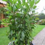 Gewürz – Lorbeer pflanzen, pflegen, ernten, überwintern