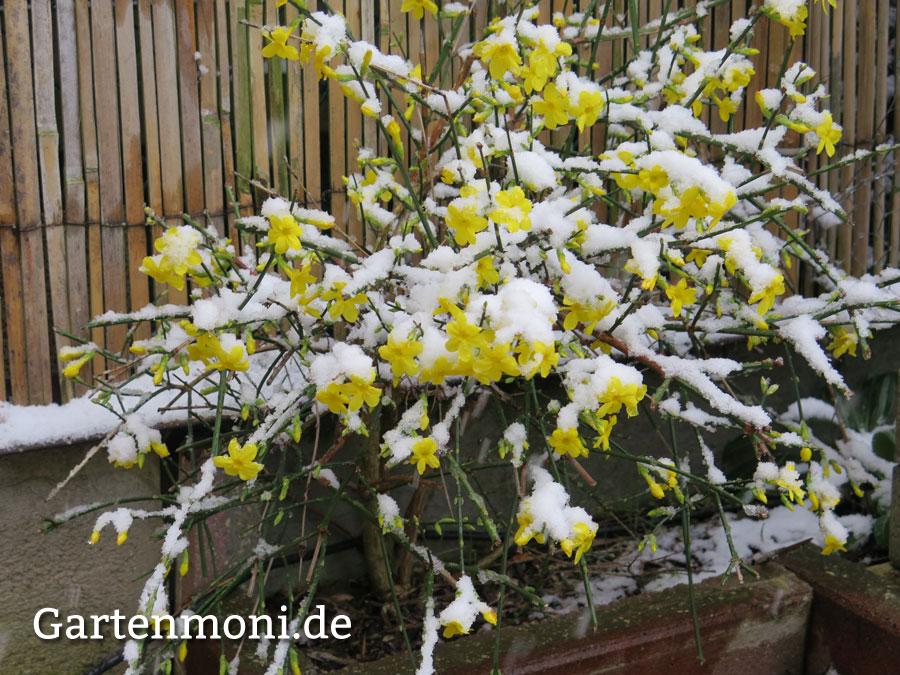 Wie Pflege Und Schneide Ich Winterjasmin ?