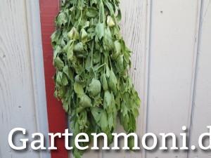 Liebstöckel / Maggikraut