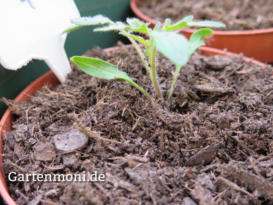 tomaten paprika chilipflanzen richtige pflege nach dem pikieren gartenmoni altes wissen. Black Bedroom Furniture Sets. Home Design Ideas