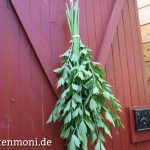 Maggikraut – Liebstöckel ernten und trocknen