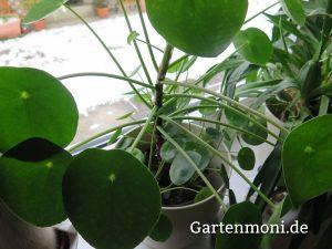 zimmerpflanzen-2