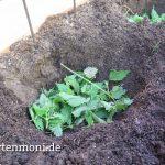 Brennessel für Tomatenpflanzen