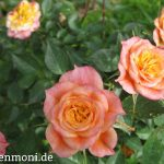 Rose rosa-gelb