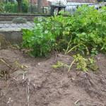 Kartoffelpflanzen vor der Ernte