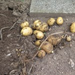 erste Kartoffelernte
