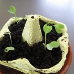 Kohlrabi Sämlinge in Eierschachtel mit Aufzuchterde