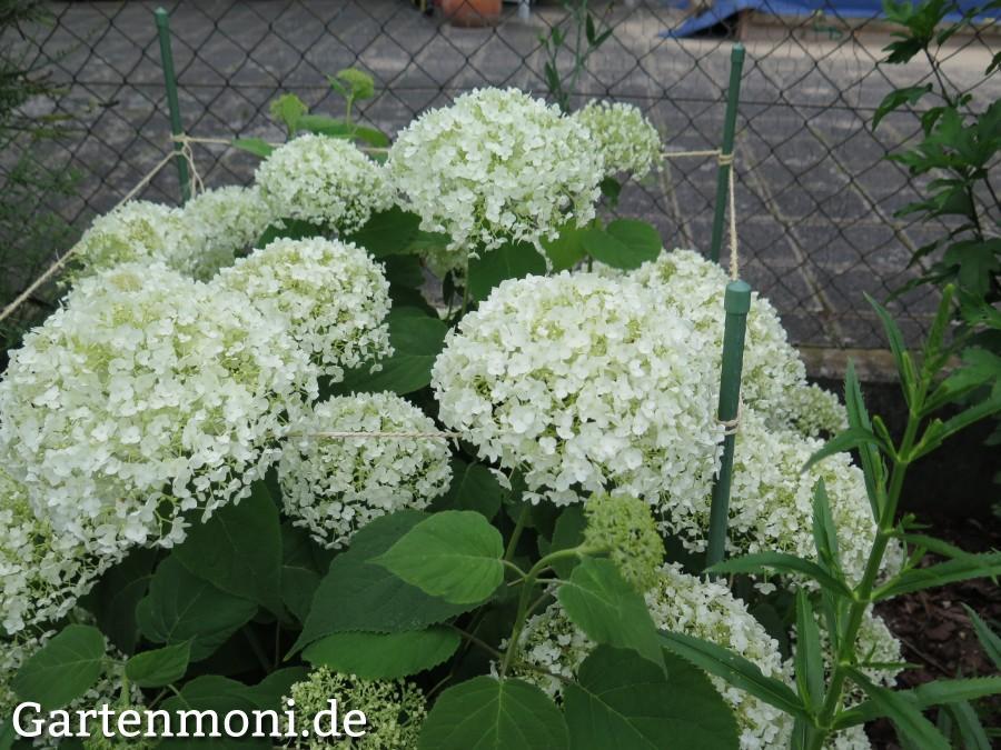 schneeball hortensie pflanzen pflegen und berwintern. Black Bedroom Furniture Sets. Home Design Ideas