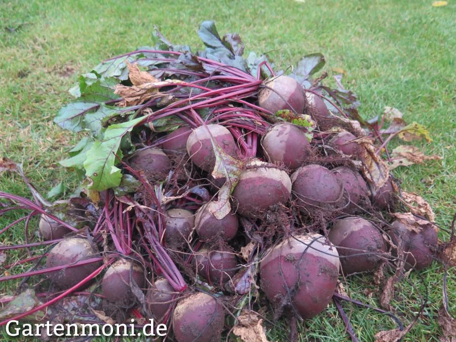 Rote Beete ernten, lagern und haltbar machen - Gartenmoni - Altes ...