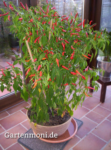 Chilies-Topf