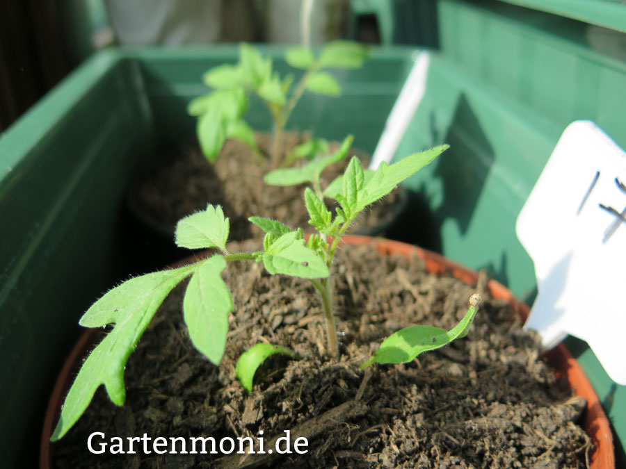 Tomaten Paprika Chilipflanzen Richtige Pflege Nach Dem Pikieren