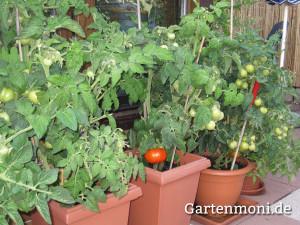 Tomaten-in-Kuebel