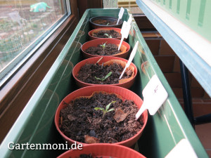 Tomaten-pikiert-2