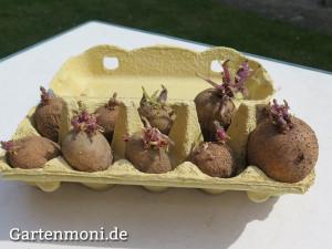 Kartoffeln-vorkeimen