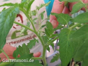 Tomaten-ausgeizen-1