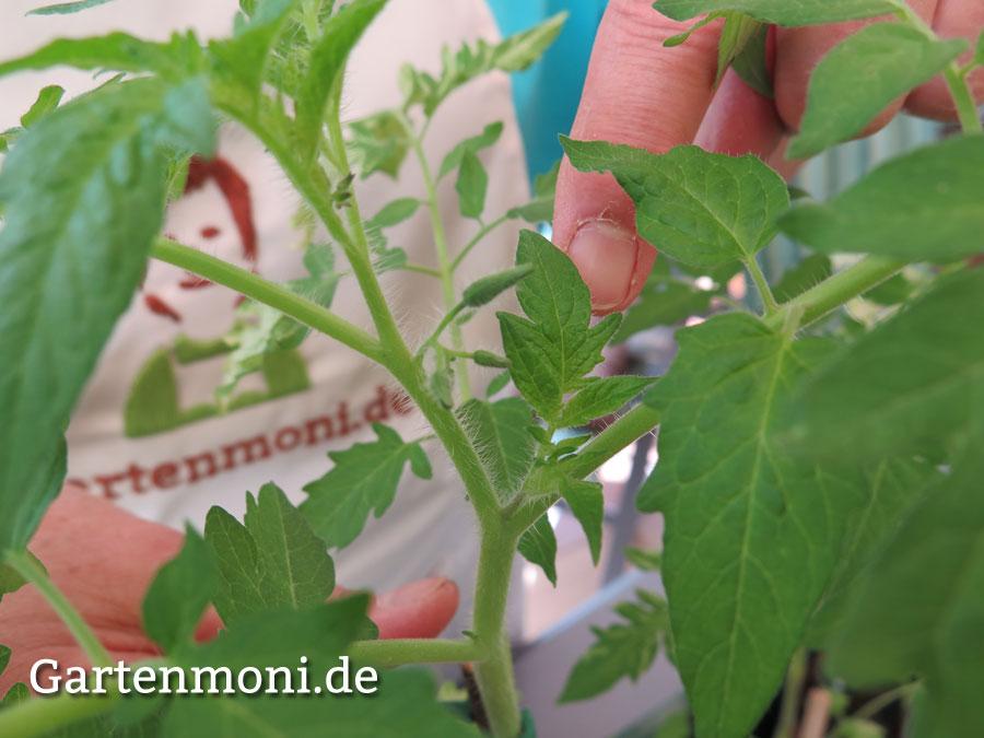 tomaten ausgeizen 1 gartenmoni altes wissen bewahren. Black Bedroom Furniture Sets. Home Design Ideas