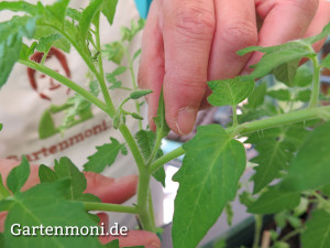 Tomaten-ausgeizen-2
