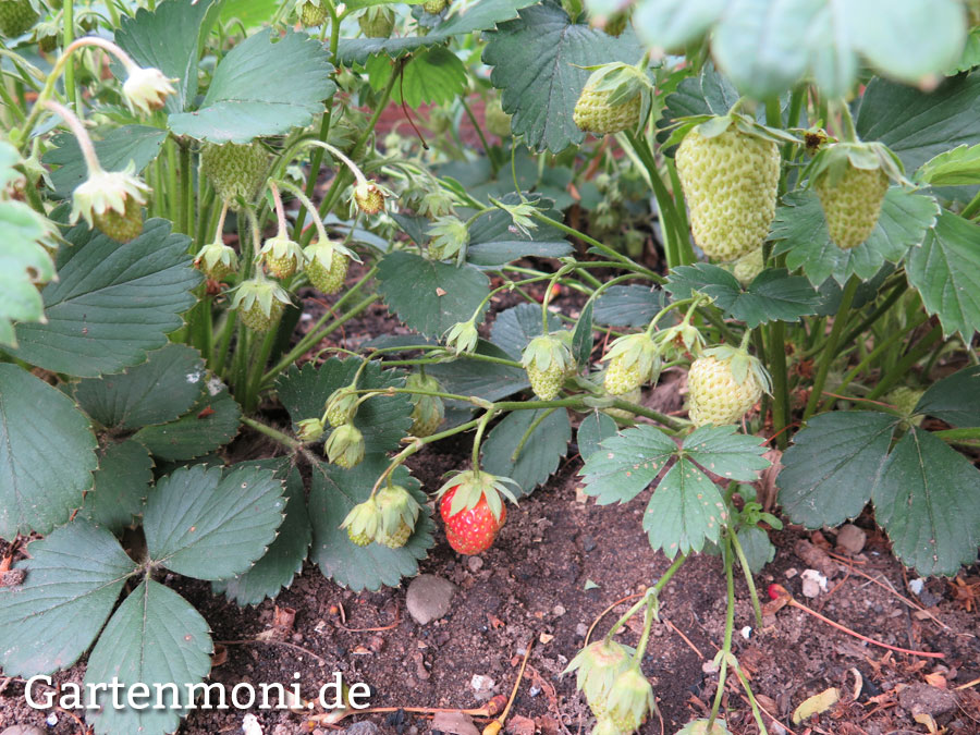 Was Essen Kellerasseln reife erdbeeren vor vögel schnecken und kellerasseln schützen