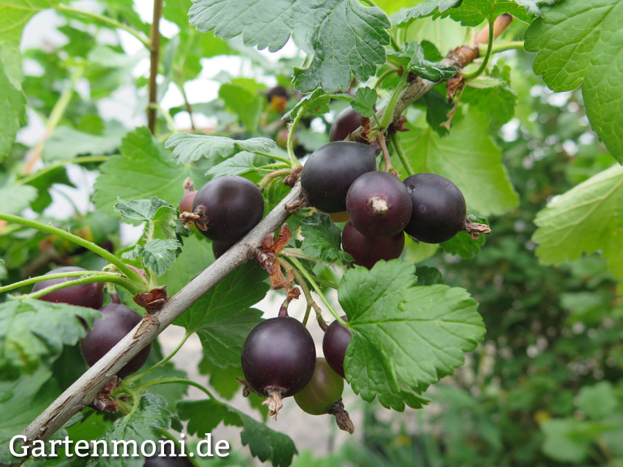Jostabeeren-Strauch pflanzen, pflegen und ernten - Gartenmoni ...