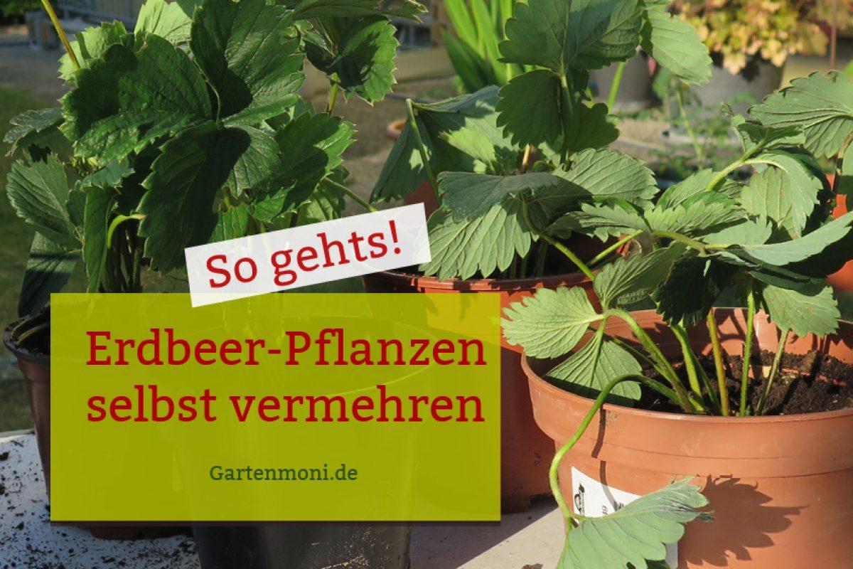 Erdbeerpflanzen selbst vermehren