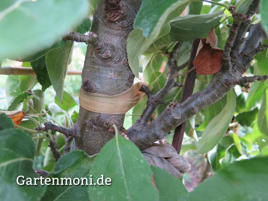 Atemberaubend Welches Material nehme ich zum Bäume anbinden? - Gartenmoni @GJ_06