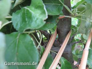 Baum-anbinden