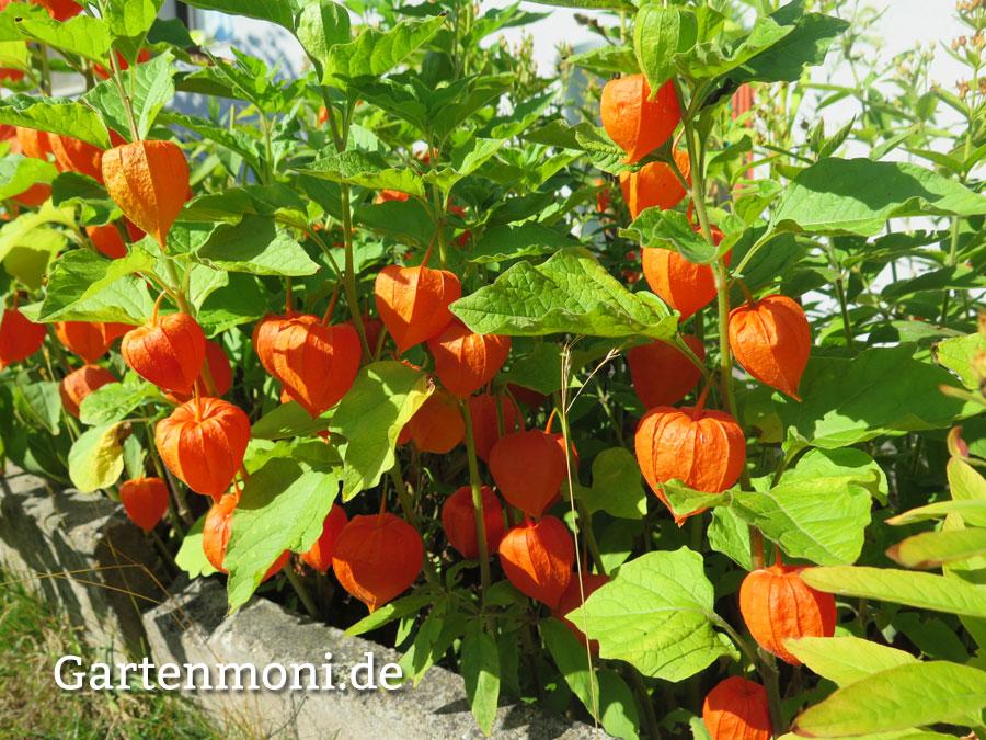 Blumen pflanzen  Lampion-Blumen pflanzen, pflegen und vermehren - Gartenmoni ...