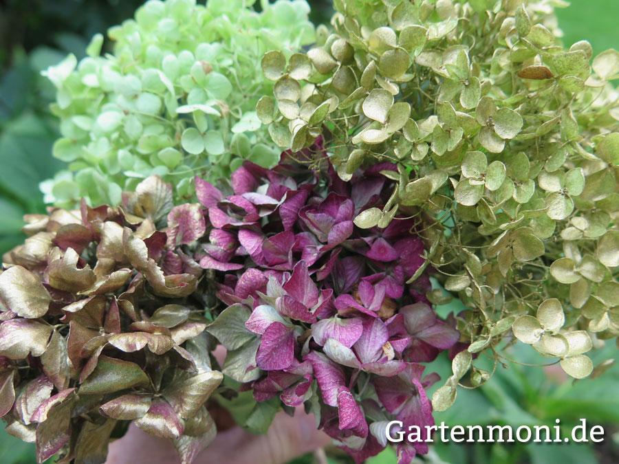 Hortensien Trocknen hortensien trocknen und verzieren gartenmoni altes wissen bewahren