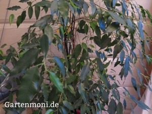Benjamin-Ficus