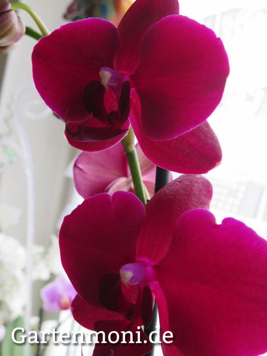 orchidee 6 gartenmoni altes wissen bewahren. Black Bedroom Furniture Sets. Home Design Ideas