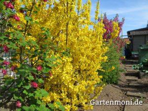 Gartentipp zur Pflege und Vermehrung von Forsythien nach der Blüte