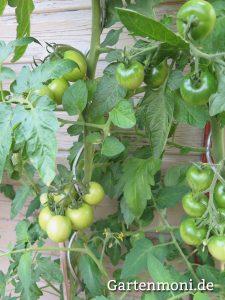Tomaten-gruen-1