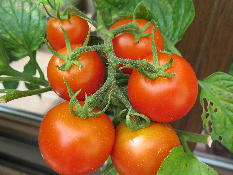 Tomatenrebe